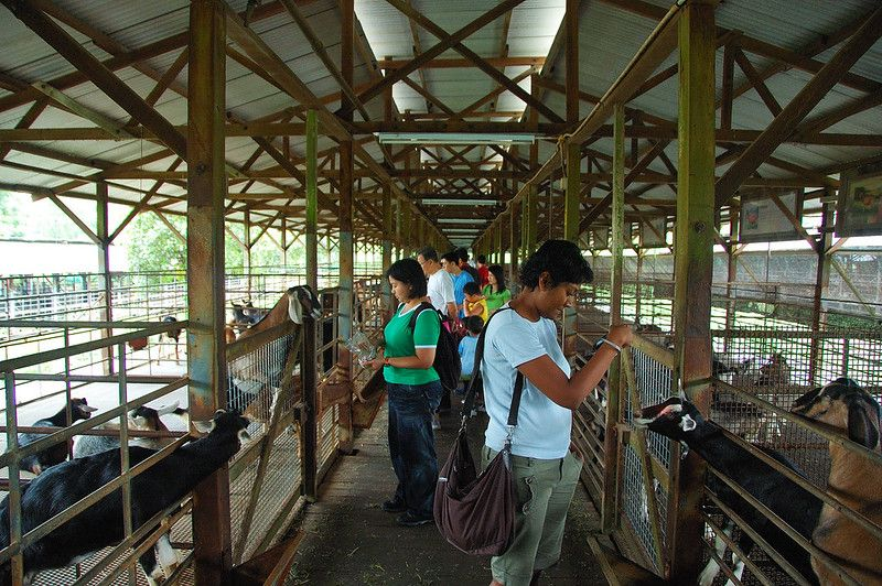 Visitors feeding the goats in Kranji Countryside